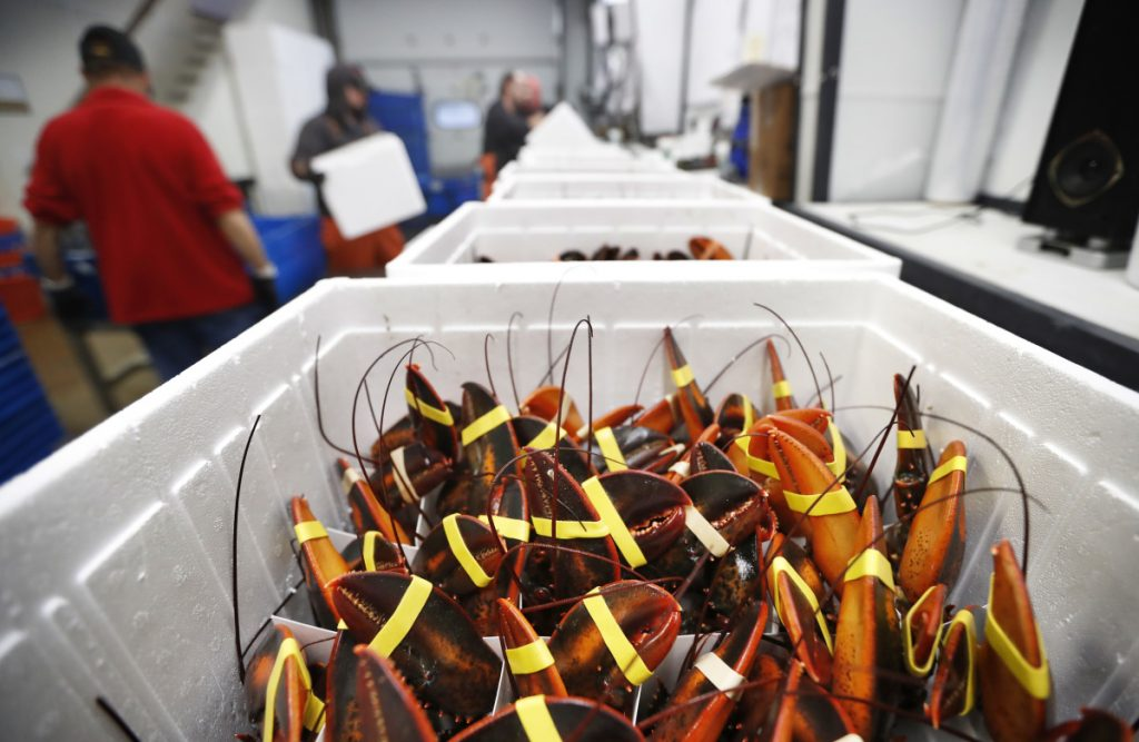 Live lobsters await shipment at Lobster Co. in Arundel. It has shipped eight orders to China recently compared with over 100 a year earlier.