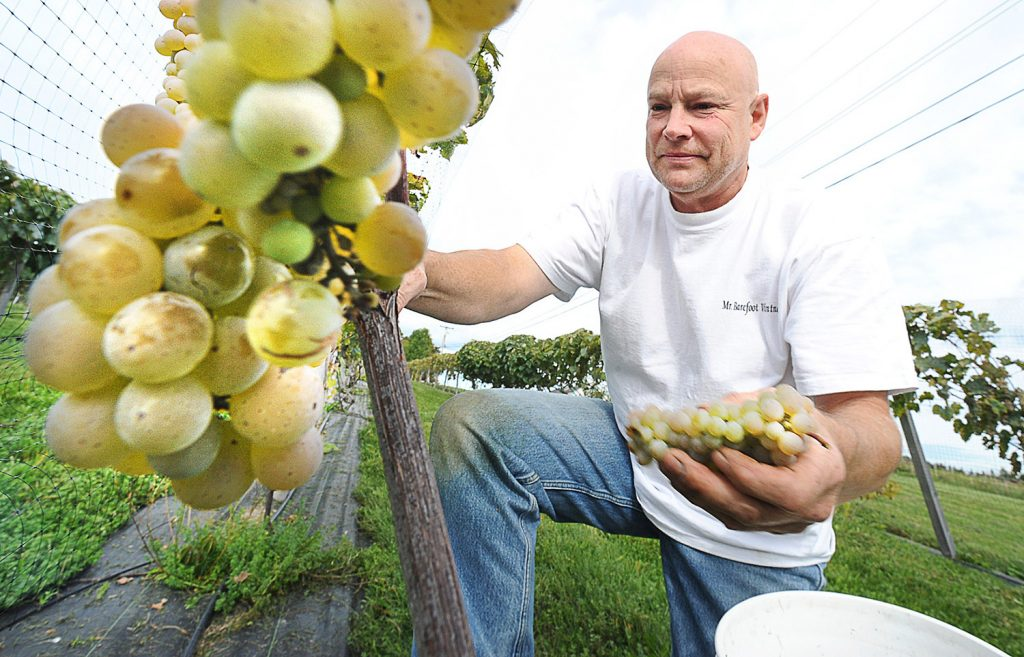 Clem Blakney picks white grapes at his winery, Younity Winery, in Unity on Sept. 18, 2011.