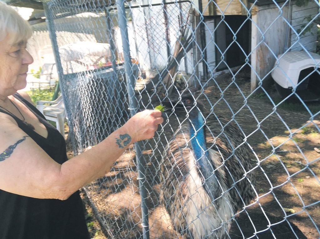 Janet Tuttle feeds her emu Ralphie. Tuttle and the staff at Rockin' T Equine Sanctuary and Rescue in Lisbon raised enough money to get the bird to a sanctuary in Georgia.