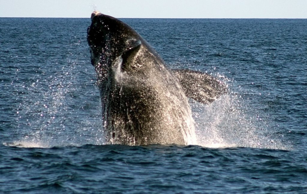 A right whale breaches off Boothbay Harbor. Scientists estimate that fewer than 450 right whales remain.