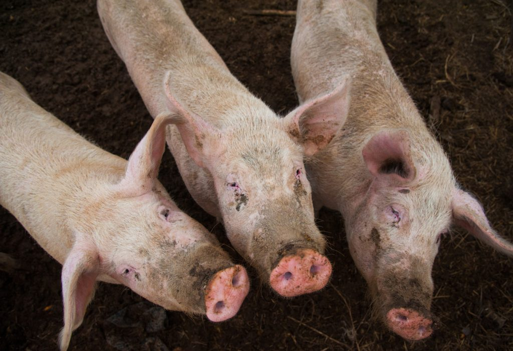 China is considering feeding pigs less in an attempt to cutback on expensive soybean purchases.