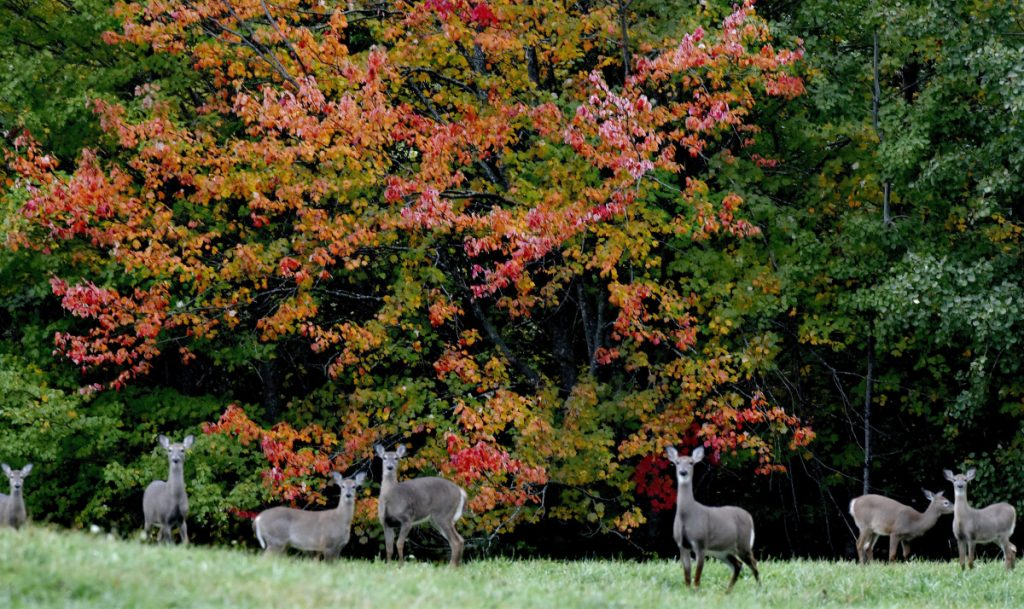 Two sure signs of autumn are maple leaves turning red and yellow and a small herd of deer fattening up for winter in Thorndike.