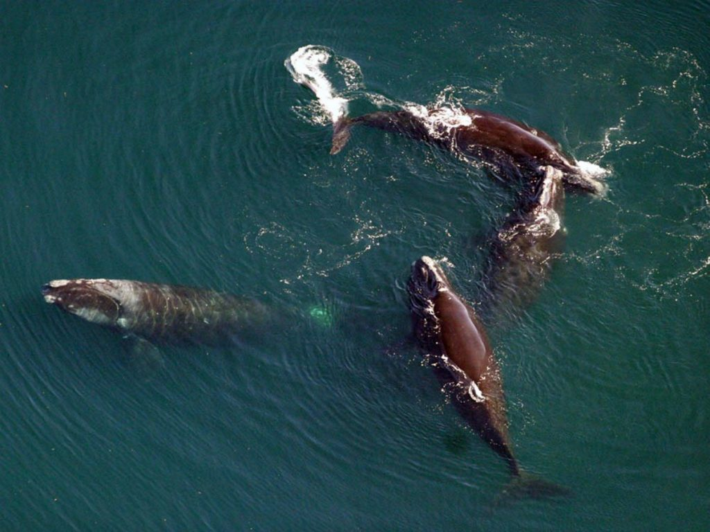 North Atlantic right whales, shown in 2008 in this National Oceanic and Atmospheric Administration photo. Federal regulators say the species is in such peril that it can't afford one more death. There are about 450 remaining today.