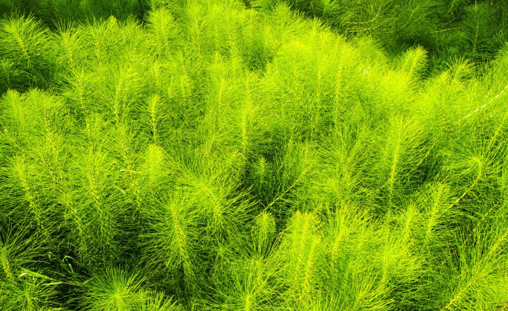 Equisetum, commonly known as horsetail, is toxic to animals that eat a large amount of it.