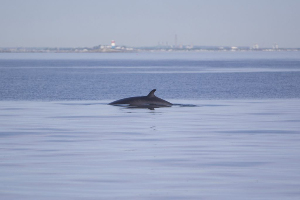 On the surface, it appears to be a quiet day for this minke whale. But below is a different story.