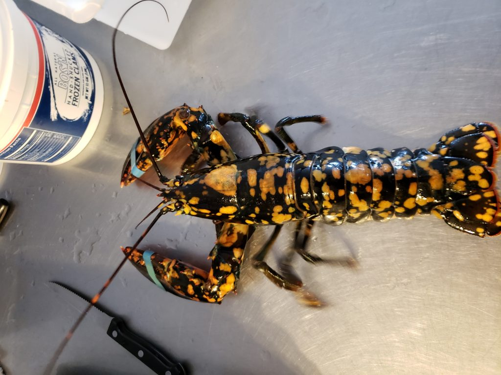Rare ghost lobster caught off Stonington - Portland Press Herald