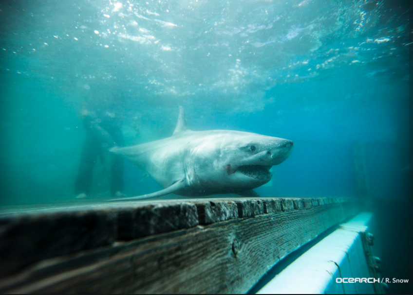 This photo is included in a tweet by the shark research group Ocearch, which reported a great white spotted off the coast of Portland this month.