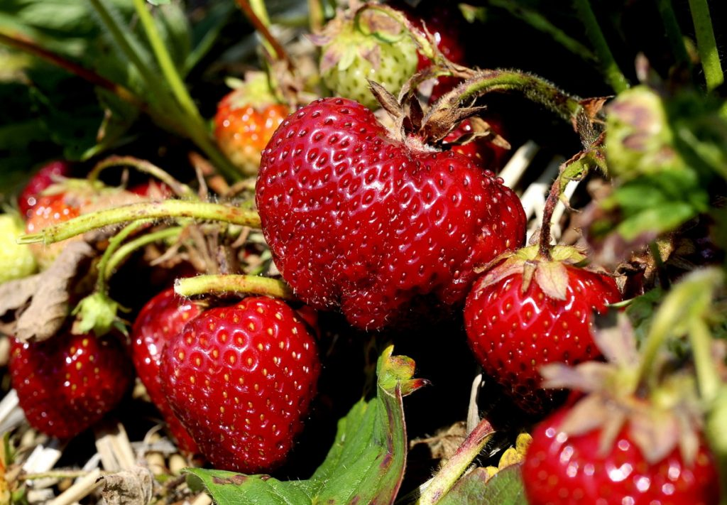 The annual rite of picking your own strawberries happens but once a year, but a planned $10 million strawberry greenhouse project in the Madison Business Gateway might make them available year-round.