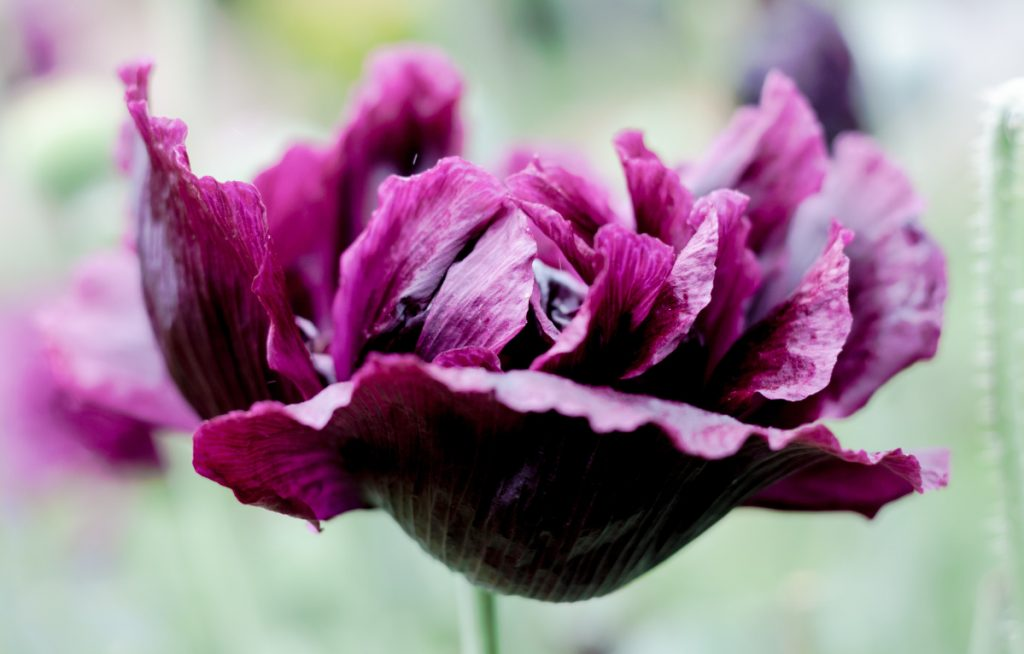 "Blossoming ""Black Peony"" poppies brought beauty to the Maine Gardener's little corner of Maine in July, but a ""Danish Flag"" variety failed to thrive."