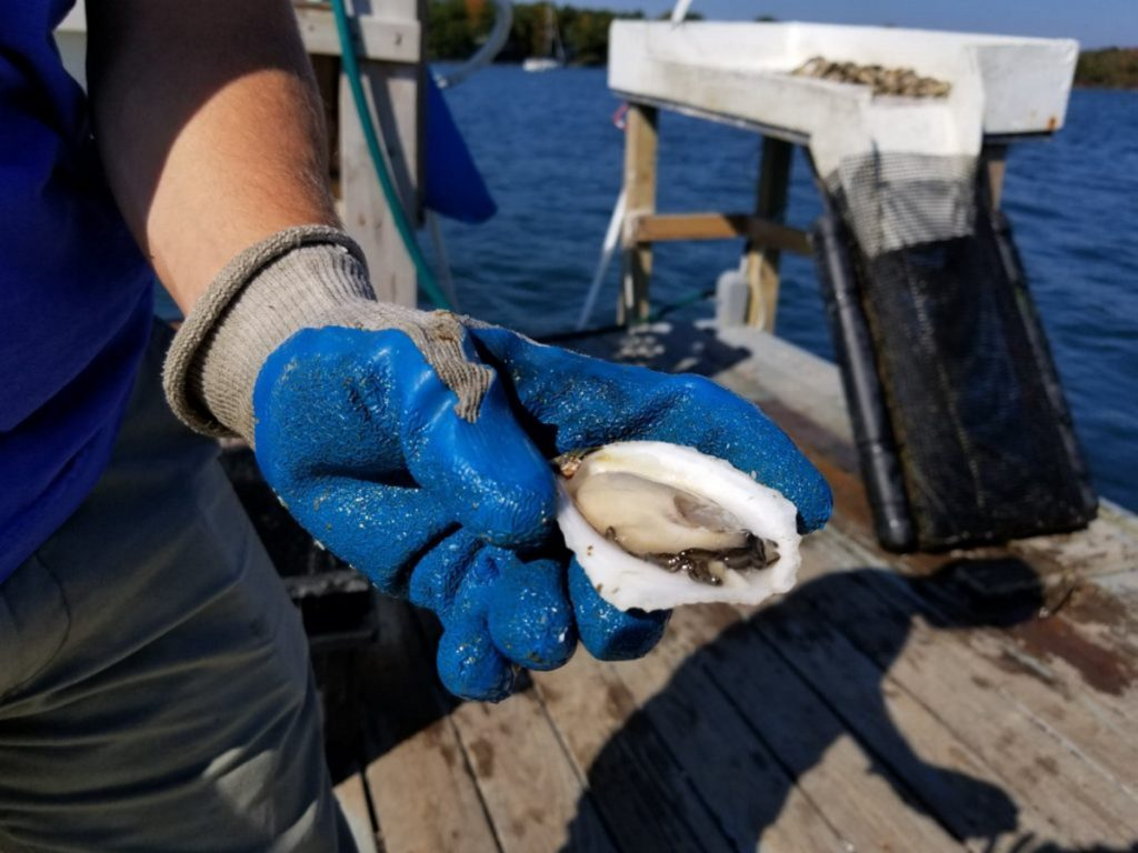 """The website of Mere Point Oyster Co. says only about 40 percent of its harvest is high enough in quality to be viewed as """"Mere Point Oysters."""" The company operates on a quarter-acre in Maquoit Bay, but hopes to expand to 40 acres."""