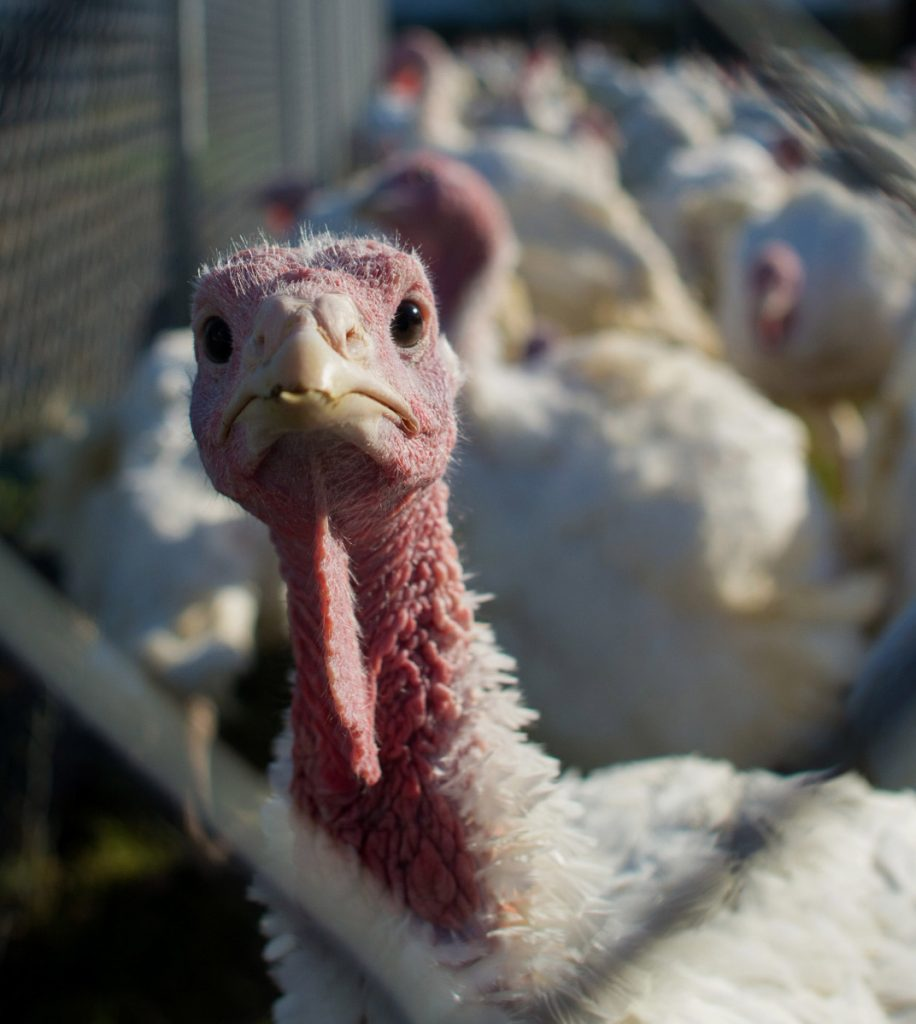 "Finding salmonella in whole birds is ""exceedingly low,"" according to the turkey industry."