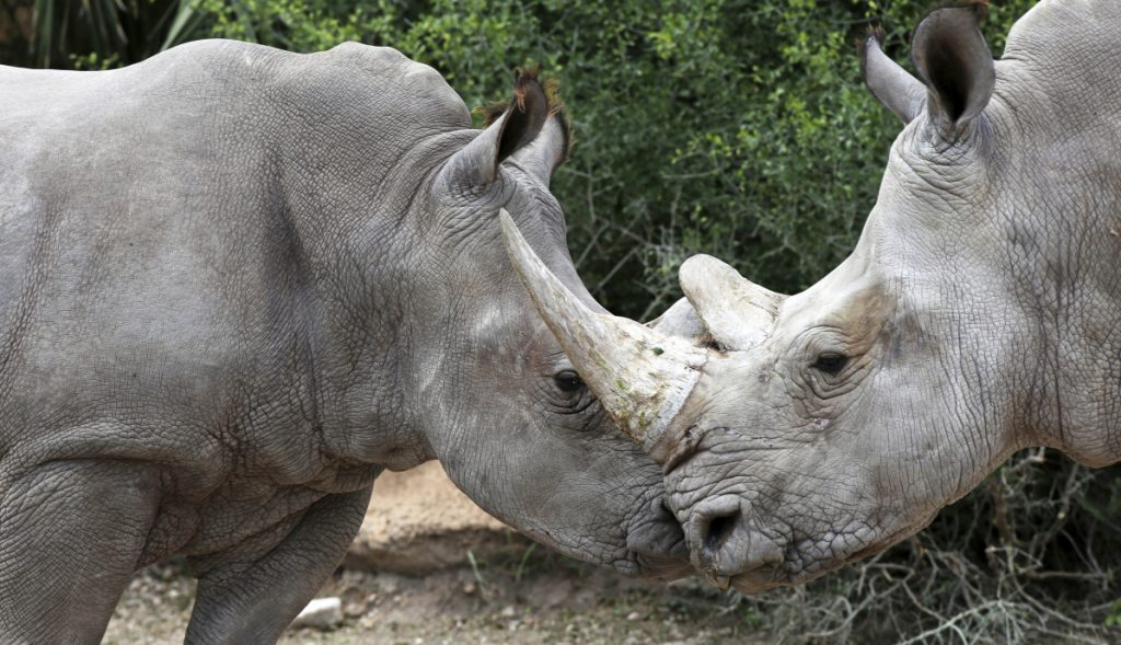 Bebop, a male white rhino, left, interacts with a female at Gladys Porter Zoo in Brownsville, Texas. The staff is excited to have breeding-age rhinos on site.