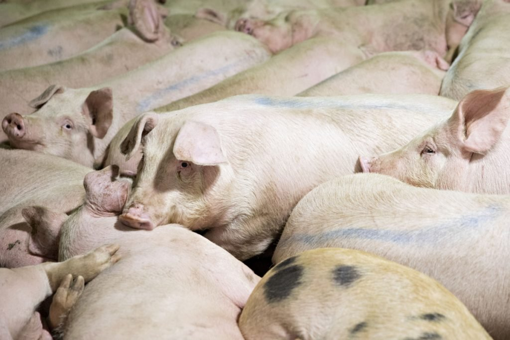 Pigs at a Smithfield Foods Inc. pork processing facility in Milan, Mo., on April 12, 2017.