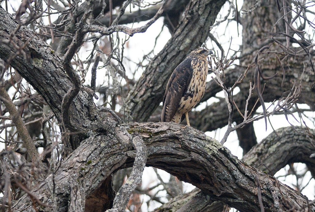 A great black hawk perched in a tree in Deering Oaks Park in Portlnd Thursday, November 29, 2018. The great black hawk is native to Central and South America.