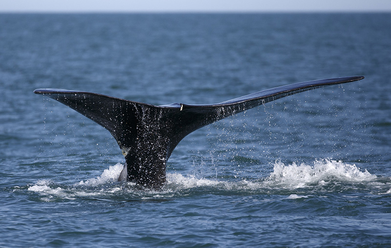 A North Atlantic right whale in Cape Cod bay off the coast of Plymouth, Mass in March.