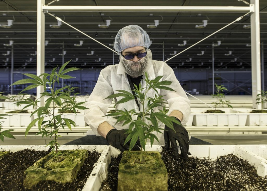 An employee tends marijuana plants at the Aurora Cannabis Inc. facility in Edmonton, Alberta, Canada. Job openings in the country's cannabis sector have tripled in the past year.