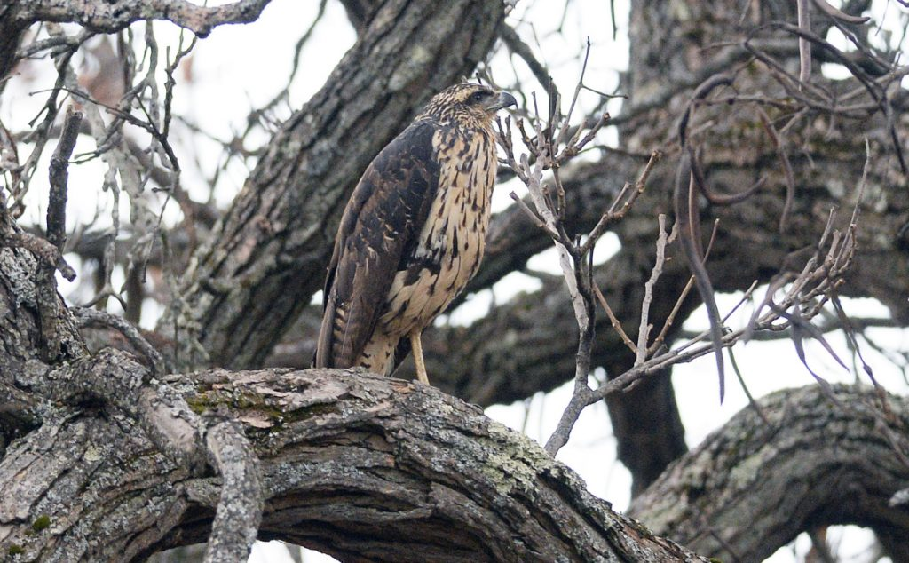 The great black hawk perches in a tree in Deering Oaks in Portland on Nov. 29. The species is native to Central and South America, and the Maine winter was more than this bird could endure.