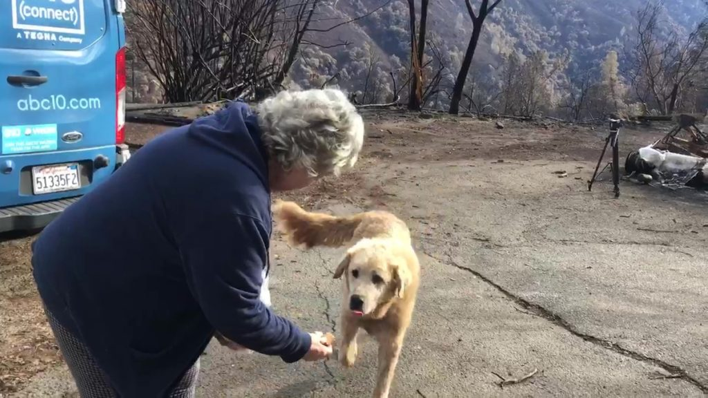 Madison, the Anatolian shepherd dog that apparently guarded his burned home for nearly a month, approaches his owner, Andrea Gaylord, as she was allowed back to check on her burned property in Paradise, Calif., on Friday. An animal rescuer left food and water for Madison during his wait. Gaylord fled when the Nov. 8 fire destroyed the town of 27,000.