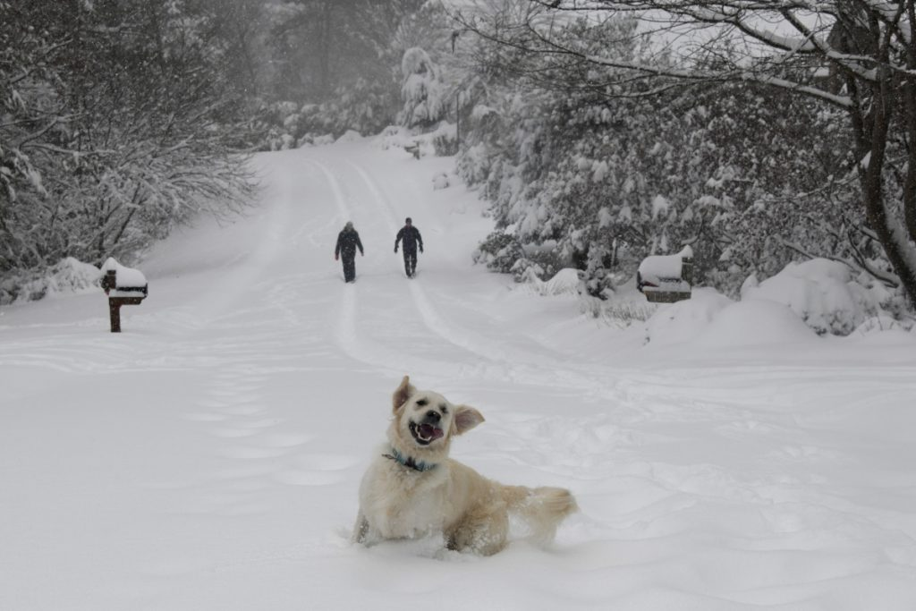 Josie, an English retriever, plays in the snow as her owners, Dawn and Mark Lundblad, walk a snow-covered Sandy Cove Drive on Sunday in Morganton, N.C. Over a foot of snow fell in the area, creating a winter wonderland.