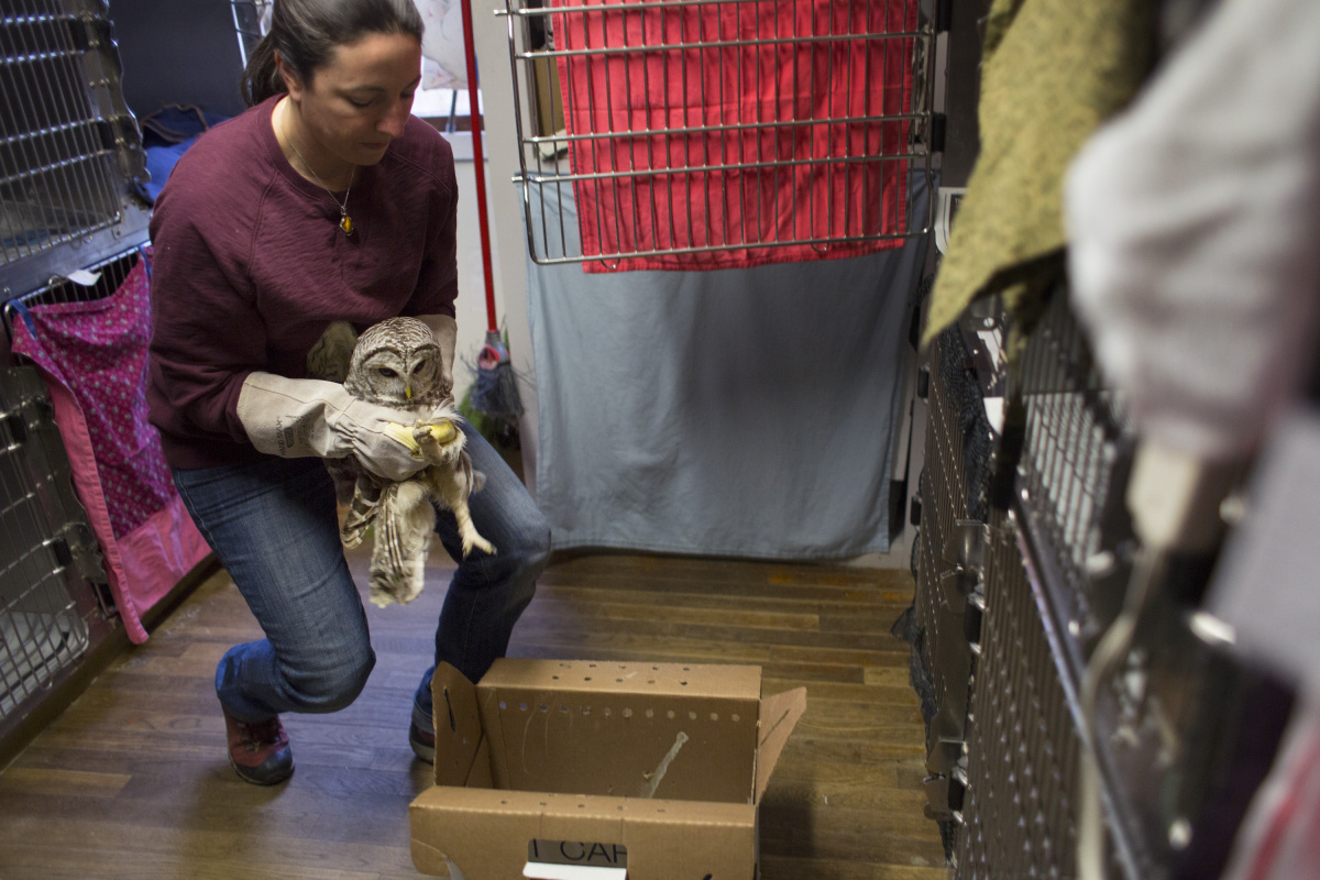 Surge in injured owls tied to abundance of their favorite food – rodents