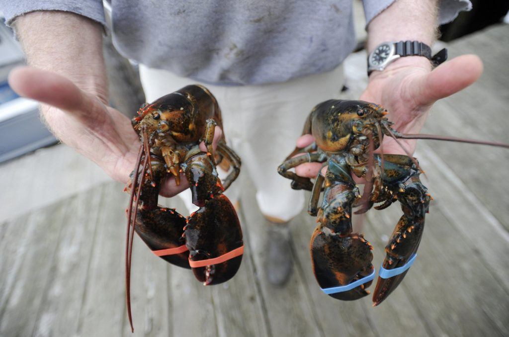 Soft-shell lobster, left, accounts for 80 percent of Maine's annual lobster landings and is considered sweeter and more tender than hard-shell lobster, right.