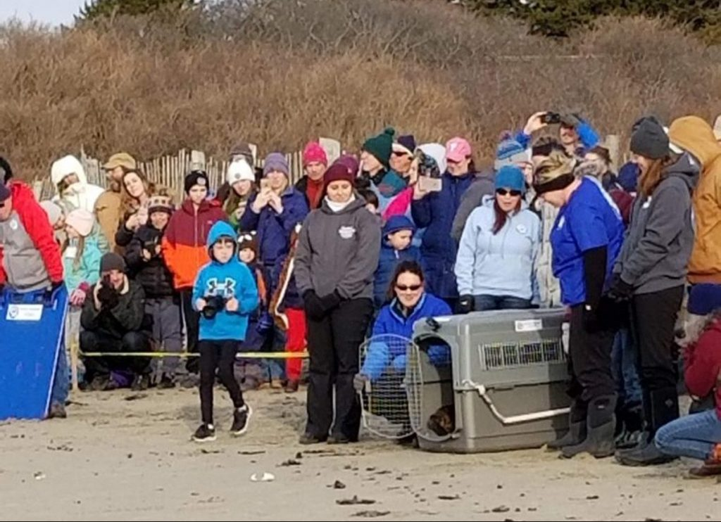 Premie the seal hesitantly pokes her head out of her cage on Head Beach in Phippsburg on Monday.