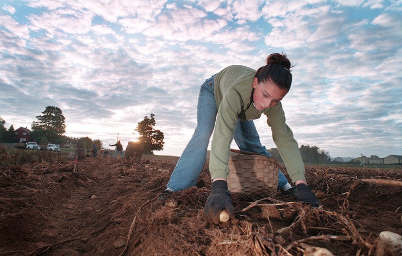 Cassandra Colton, 15. of Presque Isle hard at work in 2001 picking potatoes at Flewelling Farms in Easton shortly after dawn.