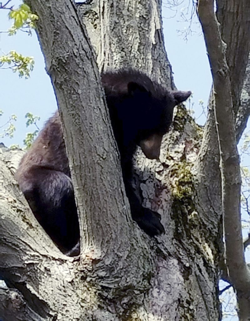 A young bear sits in a tree last spring on the playground of St. Marie's Child Care Center in Manchester, N.H.. State wildlife officials tranquilized, captured and relocated the bear to the wild.