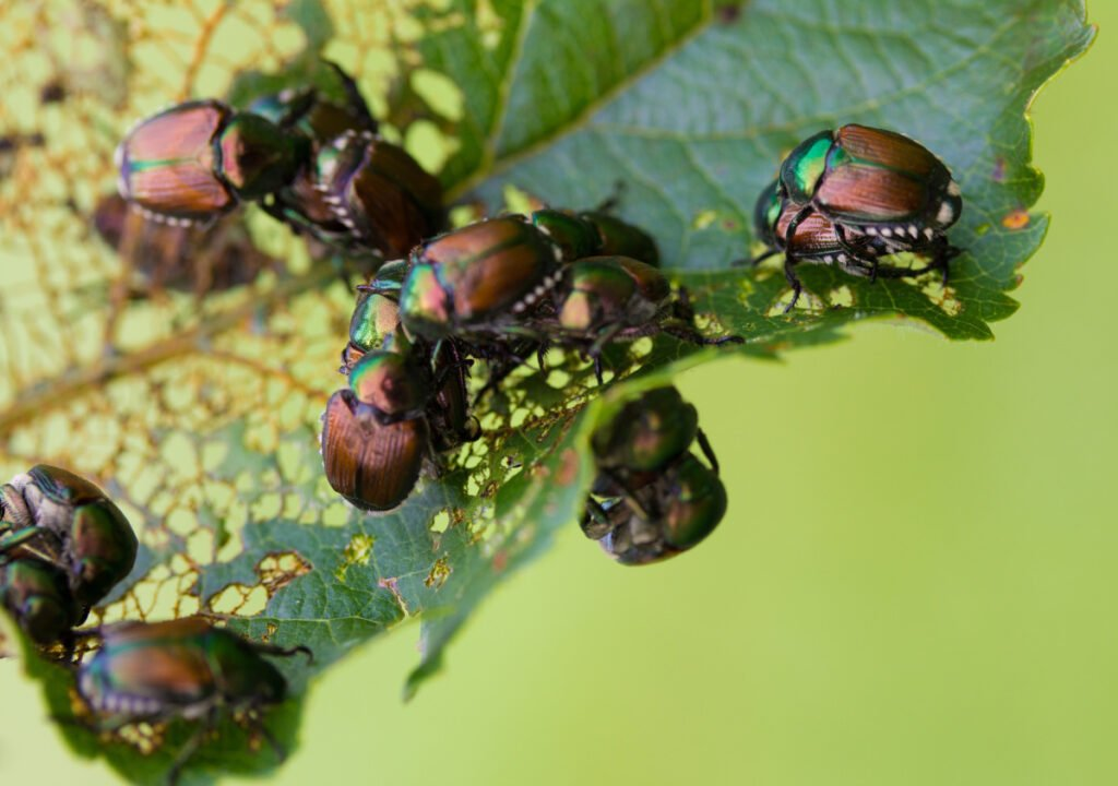 Physical barriers will help keep pests like Japanese beetles at bay.