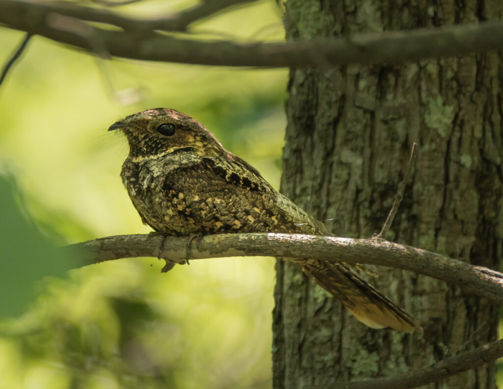 An Eastern whippoorwill, perched and watching.