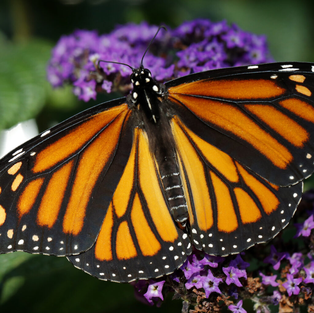 Monarch butterflies from Canada and the U.S. migrate south.