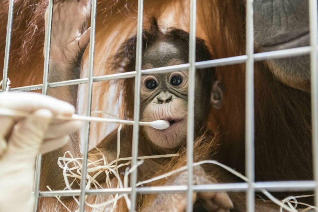 Zoo keepers take DNA samples from female orangutan cub Padma.