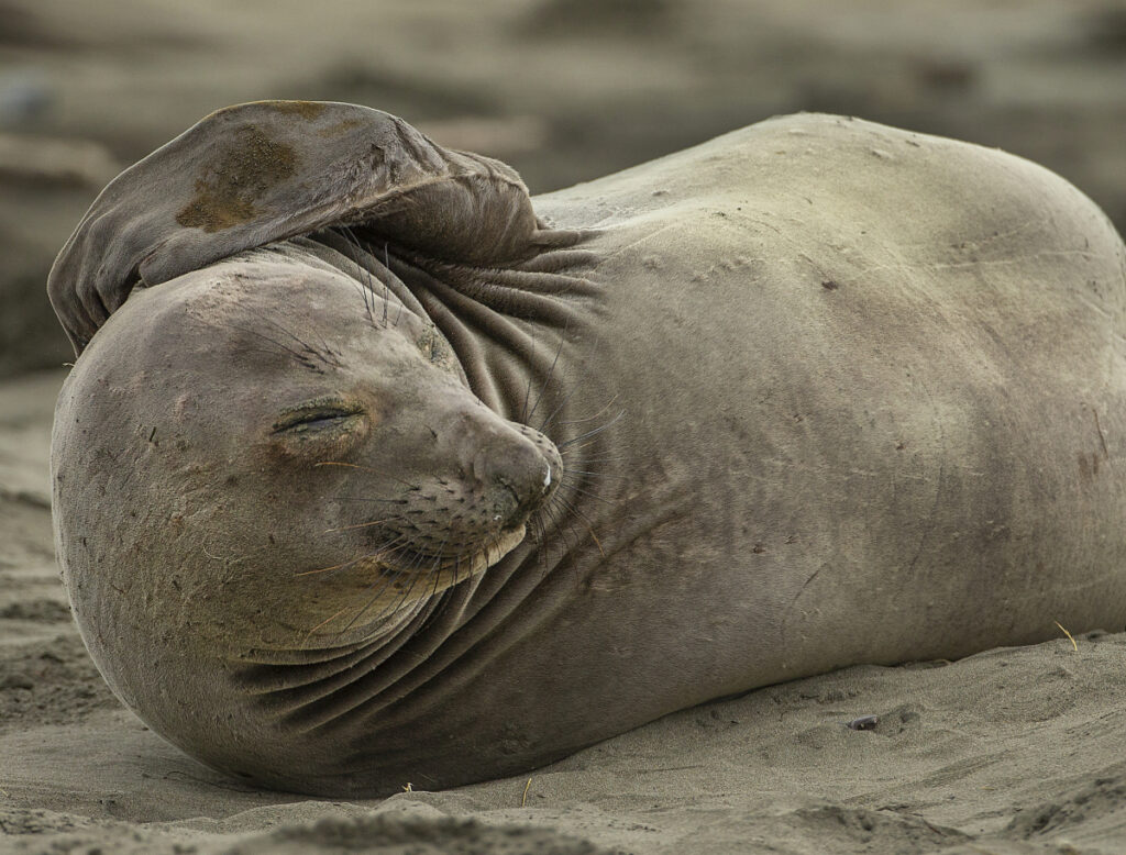 An elephant seal is seen on the tourist area of Drakes Beach at Point Reyes National Seashore, Calif., on Monday.