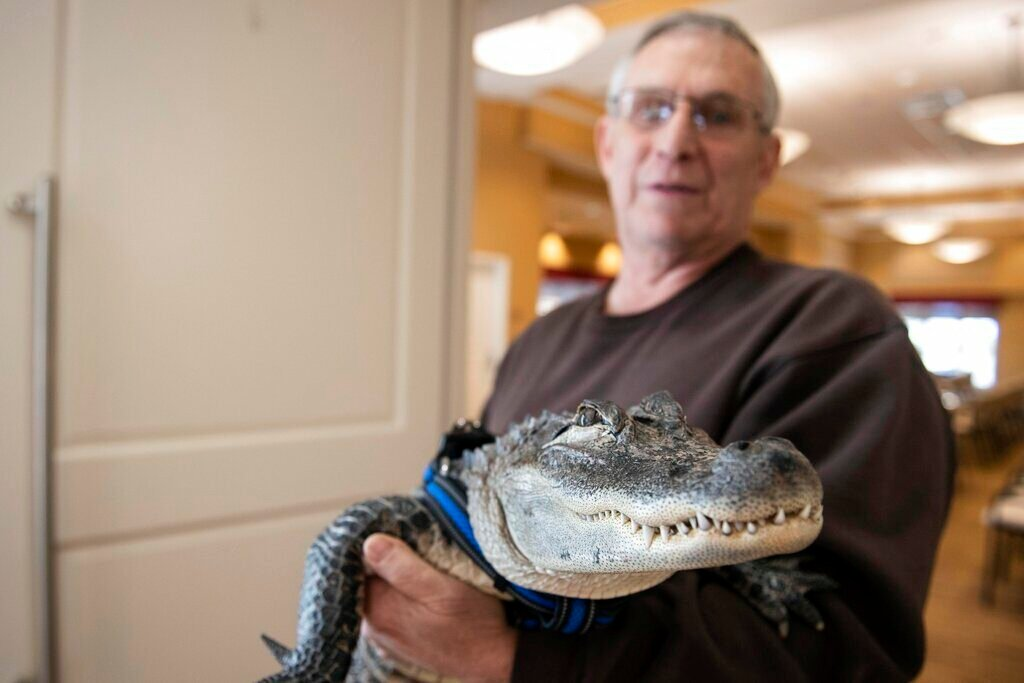 Joie Henney holds up Wally, a 4-foot-long emotional support alligator, at the SpiriTrust Lutheran Village in York, Pa. on Jan. 14, 2019.