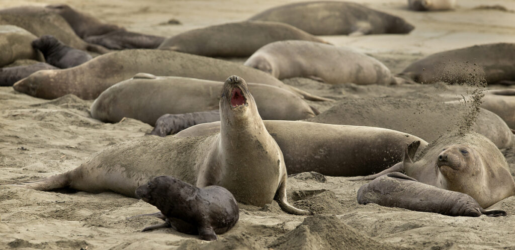 Without tourists and park rangers to discourage them during the government shutdown, elephant seals have expanded their pupping grounds in Point Reyes National Seashore, Calif.