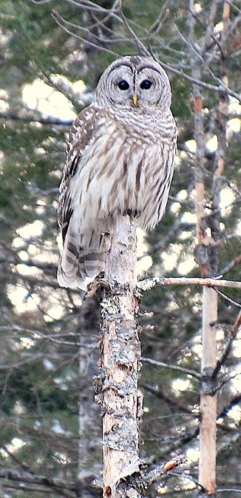 An owl came by to visit Erik Bartlett at South Casco and sat on a big branch overlooking a bird feeder area. The owl left the area a brief time later but then returned.