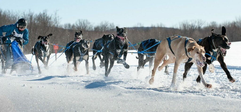 Jocelyn Bradbury of Oxford leans into her sled as her team pulls her over the final stretch of a frozen cornfield in Farmington and to victory Sunday in the Maine State Sled Dog 8-team Race.