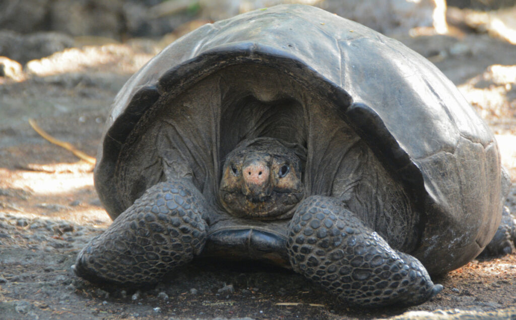 The Fernandina Giant Tortoise, a female, was found in the Galapagos Islands on Sunday.