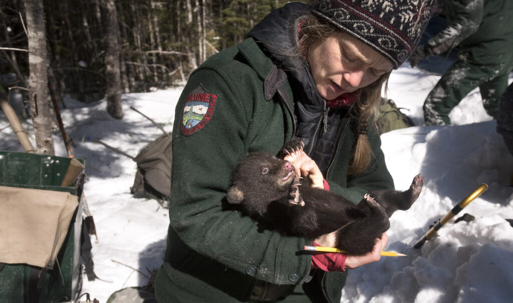 Lisa Feener, a wildlife technician with the Maine Department of Inland Fisheries & Wildlife, checks one of the four bear cubs in a den while working on the bear monitoring project in Edinburg.