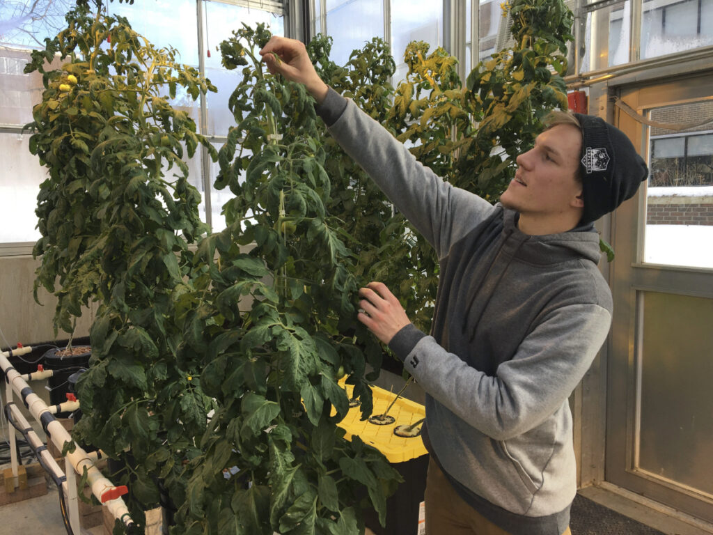 Colton Welch, a junior at the State University of New York at Morrisville, N.Y., tends hydroponic tomato plants, which will provide students with data applicable to cannabis cultivation. The college's new minor in cannabis studies is among a handful of new university programs aimed at preparing students for careers in marijuana and hemp industries.