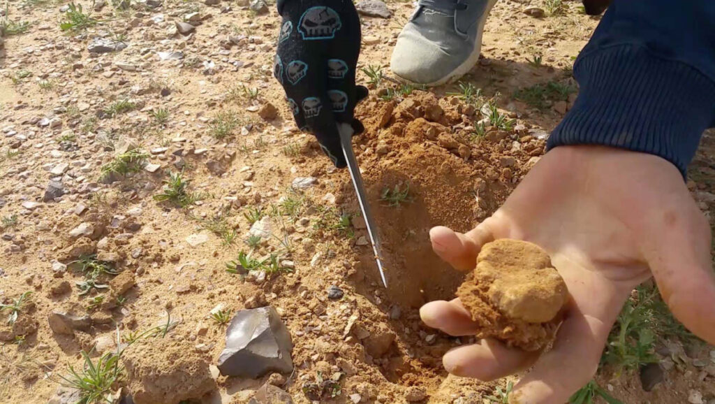 Truffle hunting is an integral part of Iraq's southern economy. The most common truffle type is terfezia, an off-white, sponge-surfaced variety that looks like rocks dotting much of the flat sand and gravel plains.