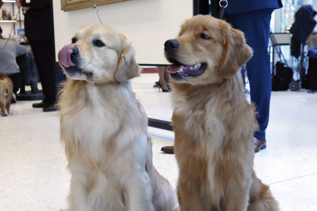 Golden retrievers Alistair, left, and Chuker pose for photos at the Museum of the Dog in New York on Wednesday. Associated Press/Richard Drew