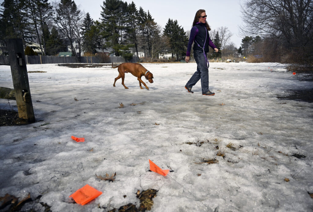 Gretchen Frank of Westbrook walks to the trails at Hinckley Park in South Portland with her dog Baron on Thursday. In the foreground are flags marking areas where dog owners did not pick up after their pets. Frank was carrying bags to pick up after her dog as needed.