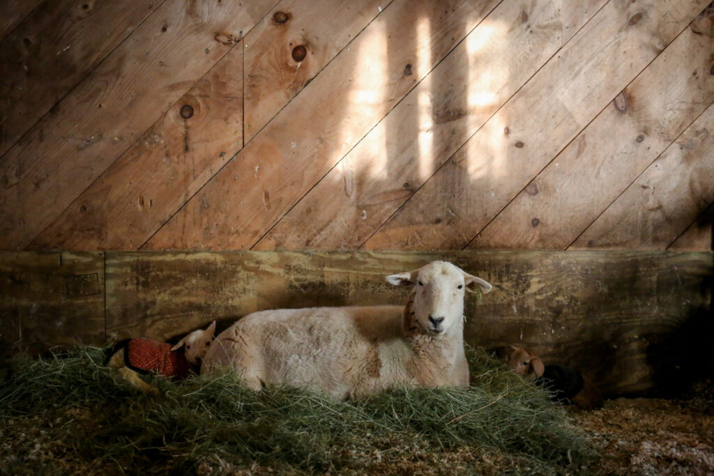 "Elvez and her lambs, Jadis and King. The sheep belongs to Camden resident and Watershed High School junior Pearl Benjamin. Spoiler alert: Benjamin reports that ""Elvez is doing very well now, and her lambs Jadis and King are growing every day!"""