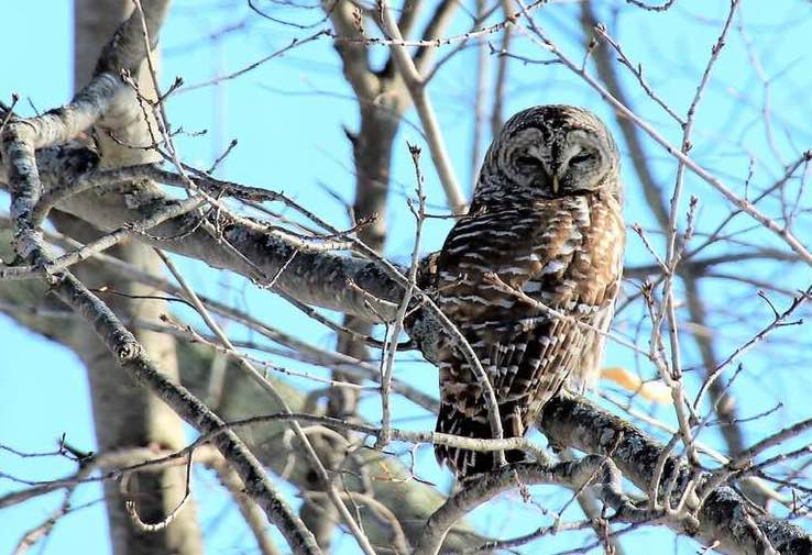 A barred owl perches in a tree in Alfred on Sunday.