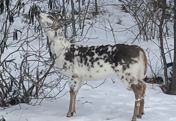 A piebald deer photographed in Falmouth on Friday morning.