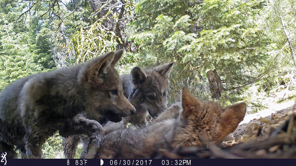 U.S. plans to end endangered species protections for gray wolves