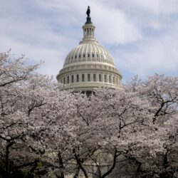 APTOPIX_Cherry_Blossoms_Washington_79565