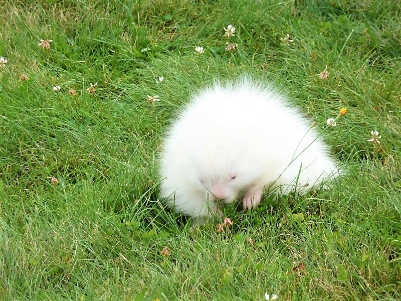 Albino porcupine spotted at trolley museum   Journal Tribune