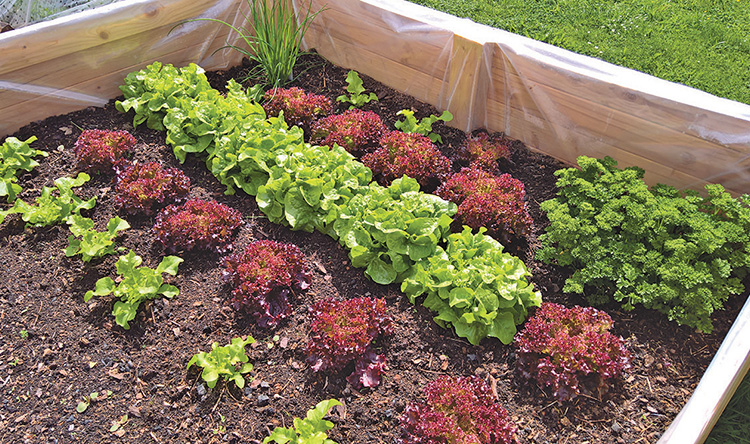 """""""Lettuce and hardy greens are fun because you can do them as succession plantings  every couple of weeks,"""" recommends Melissa Emerson, owner of Pinetree Garden Seeds in New Gloucester, in order to have fresh salad greens all season. This raised bed contains lettuces, parsley and chives."""